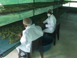 Mitarbeiter bereiten das Trocknen der Moringa-Blätter vor