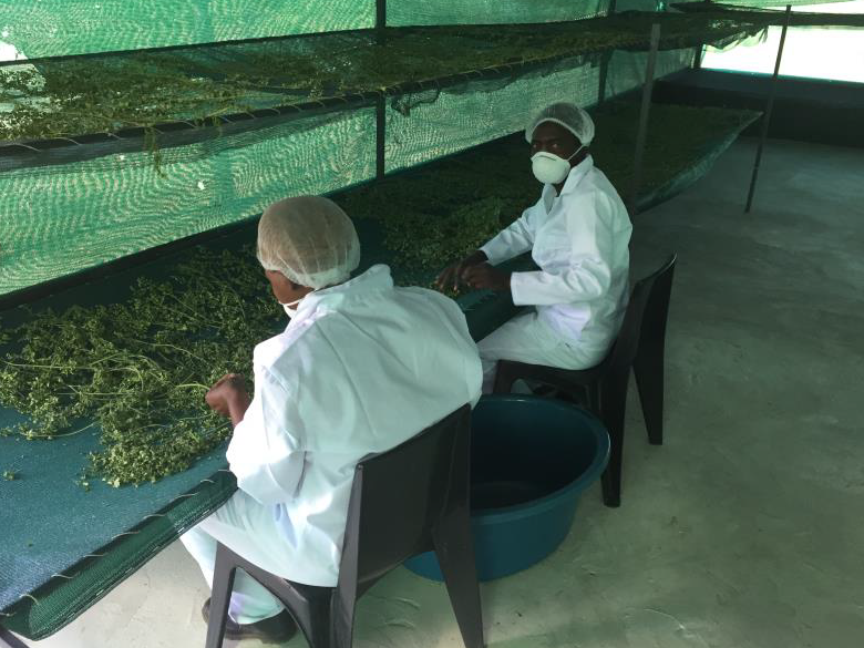 Workers preaparing the drying process of the moringa leaves